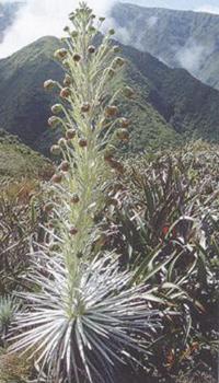 Biljka Kukui