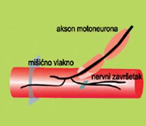 Misicno vlakno - mesto delovanja