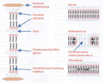 Model formiranja pora u dvostrukom sloju lipida