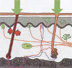 Putevi prodiranja lekovitih materija tokom elektrofereze folikuli i odvodni kanali znojnih zlezdi