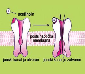 Shema delovanja jonotropnih (nikotinskih) receptora