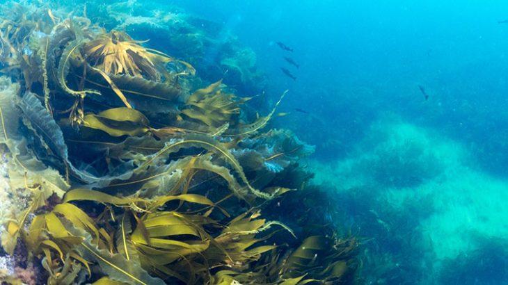 alge na morskom dnu